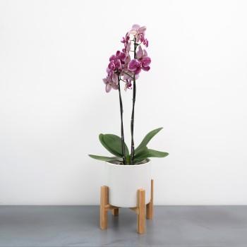 Phalaenopsis con maceta y pie.