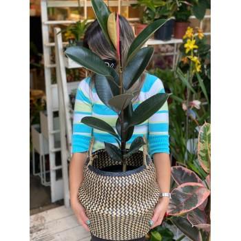 Ficus Elástica con canasto