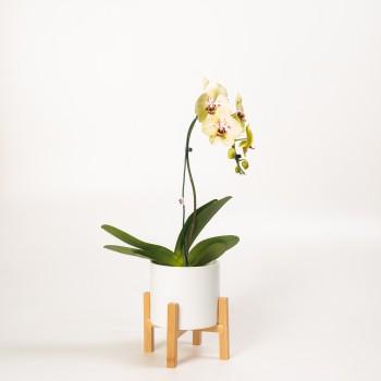 Phalaenopsis cascada con...