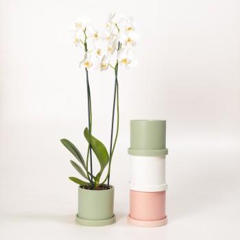 Phalaenopsis c/ maceta con...