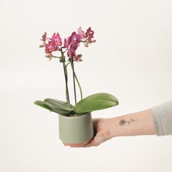 Orquidea Phalaenopsis XXS...