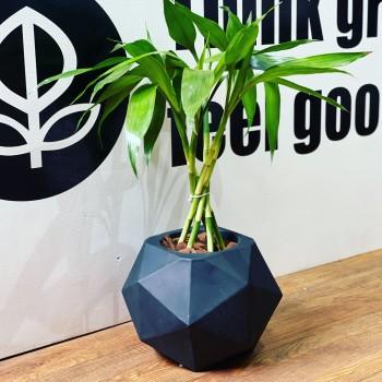 Lucky Bamboo en maceta...
